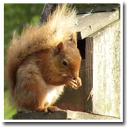 Red Squirrel - click to see more photos